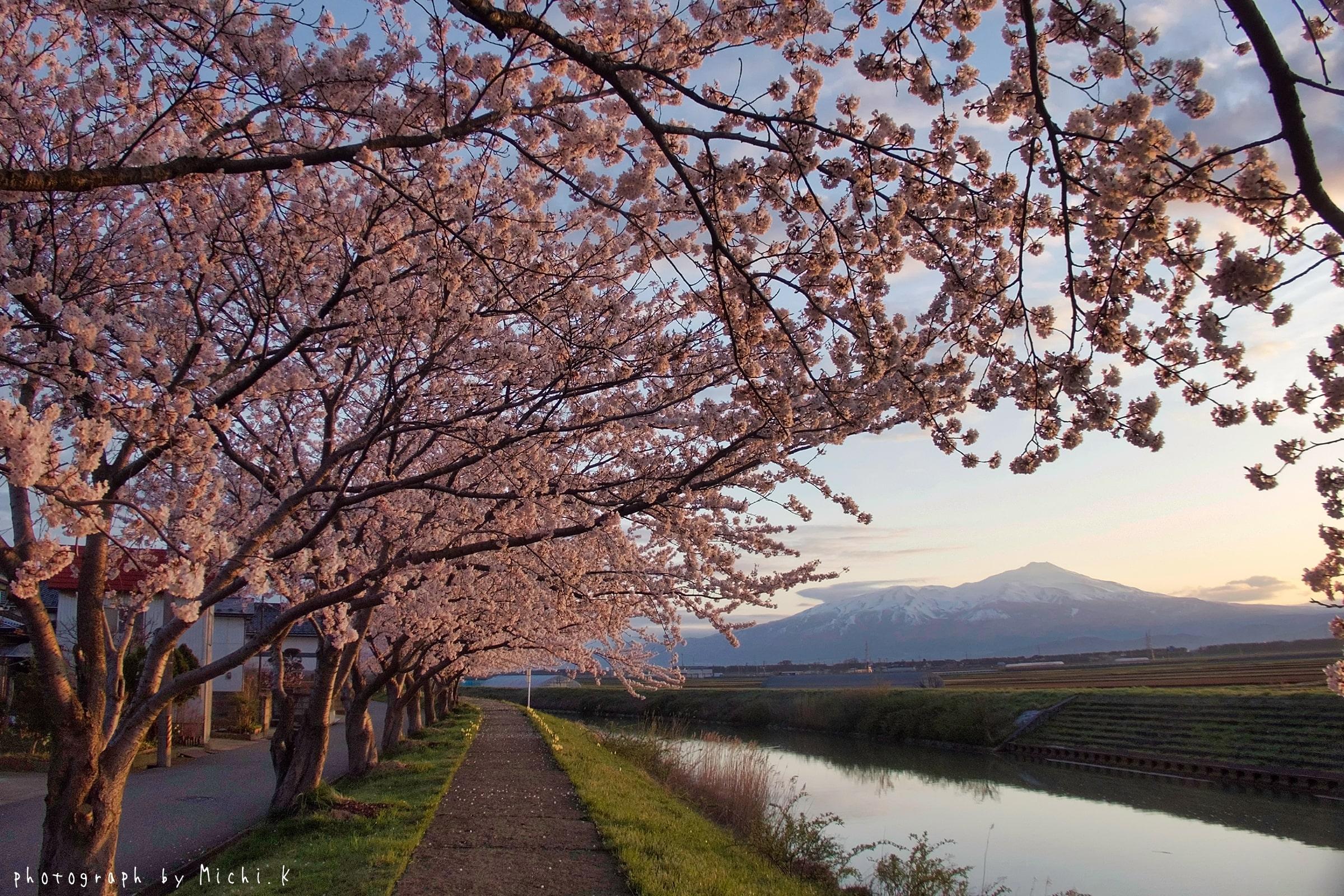 幸福川の桜2018-4-17(その3)