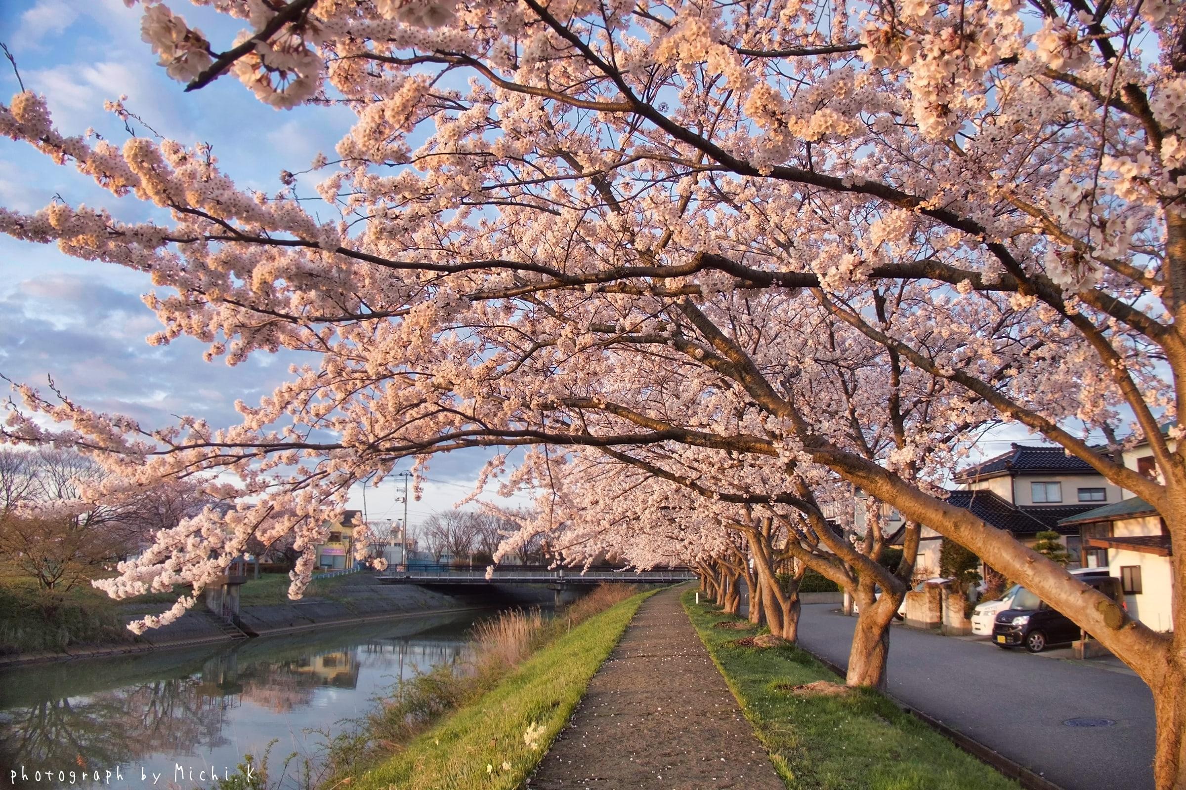 幸福川の桜2018-4-17(その4)