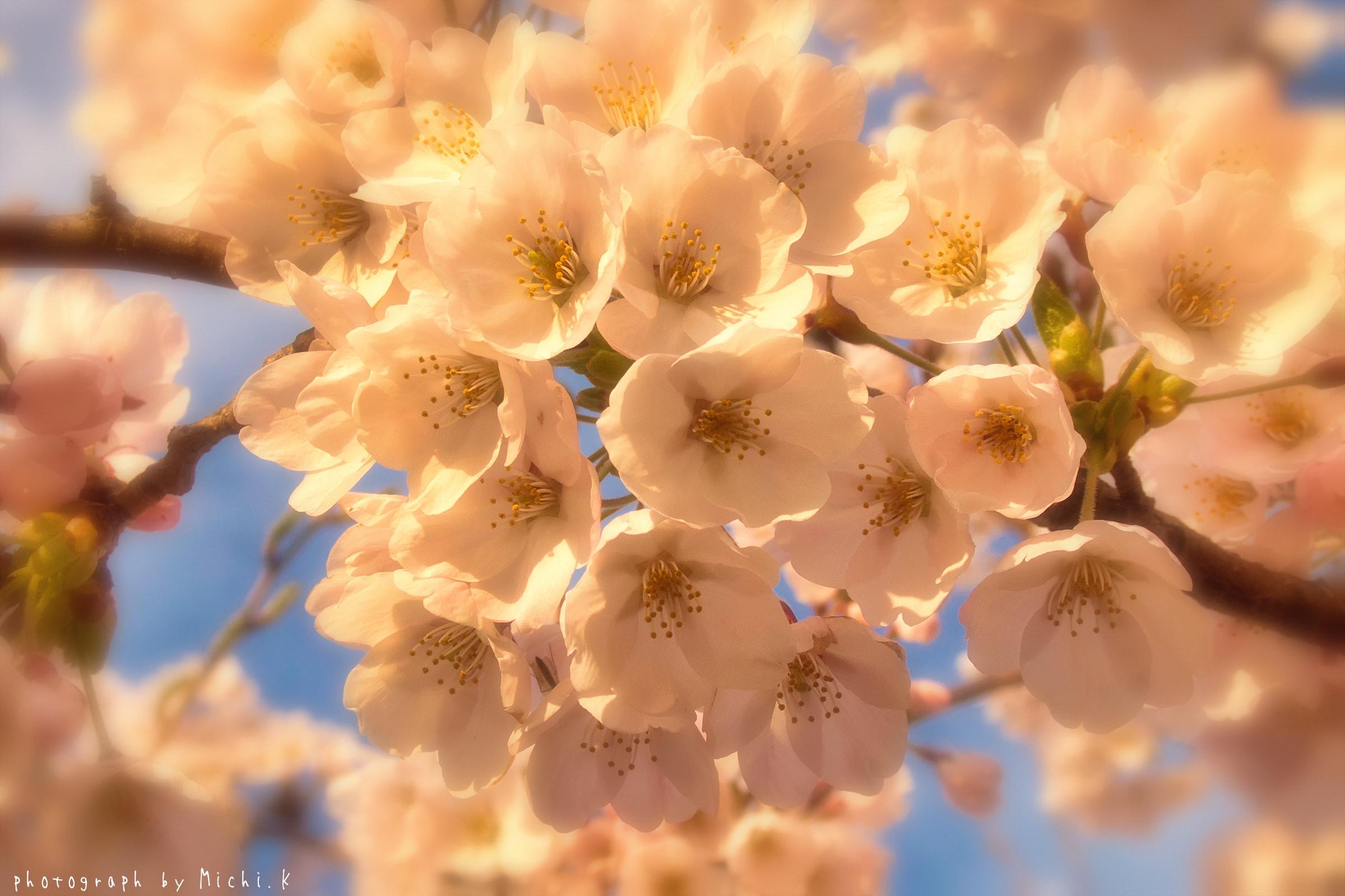 幸福川の桜2018-4-17(その8)
