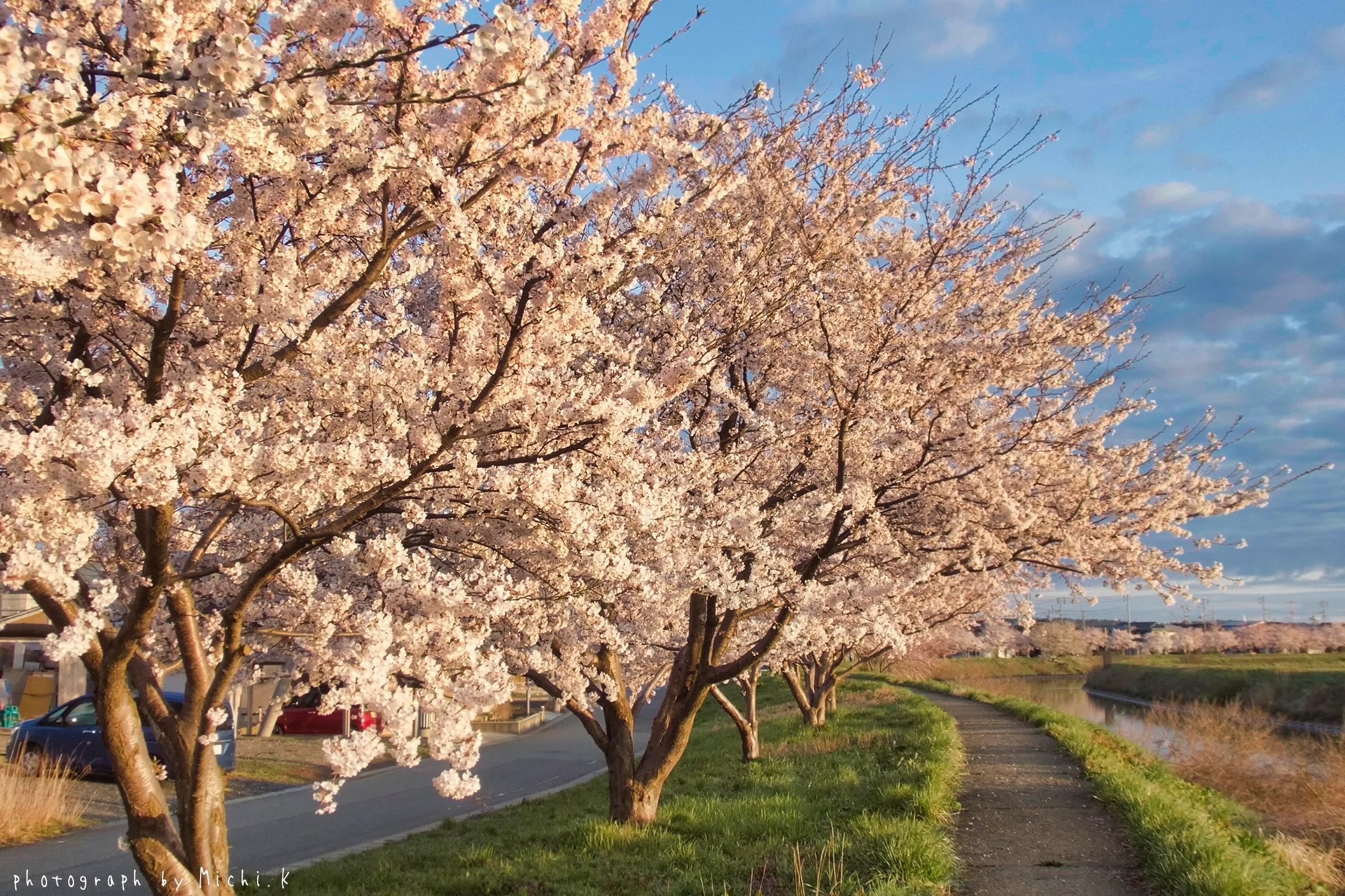 幸福川の桜2018-4-17(その9)