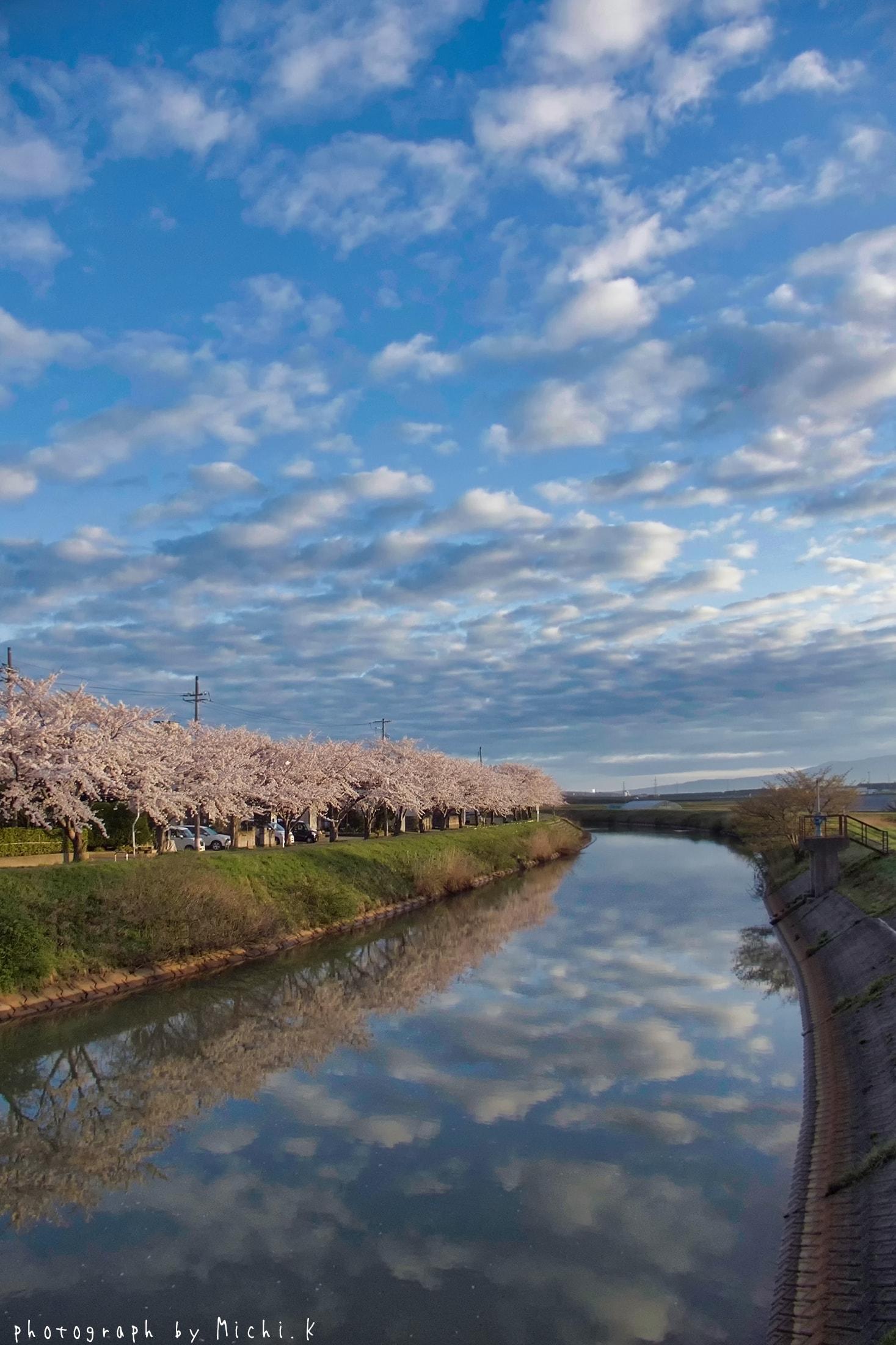幸福川の桜2018-4-17(その10)