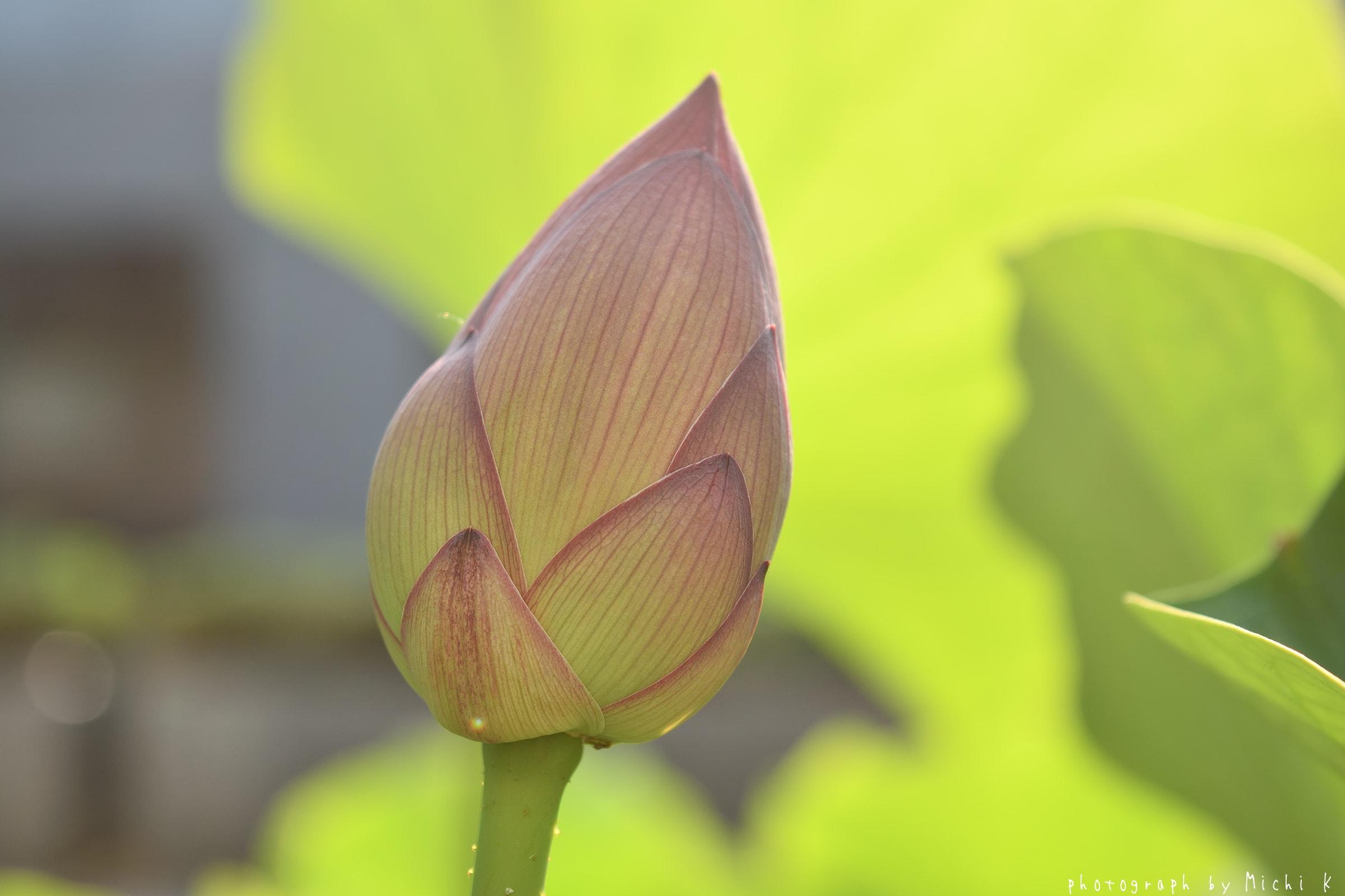 土門拳記念館2018-7-20朝(写真その3、奇跡の中尊寺蓮)
