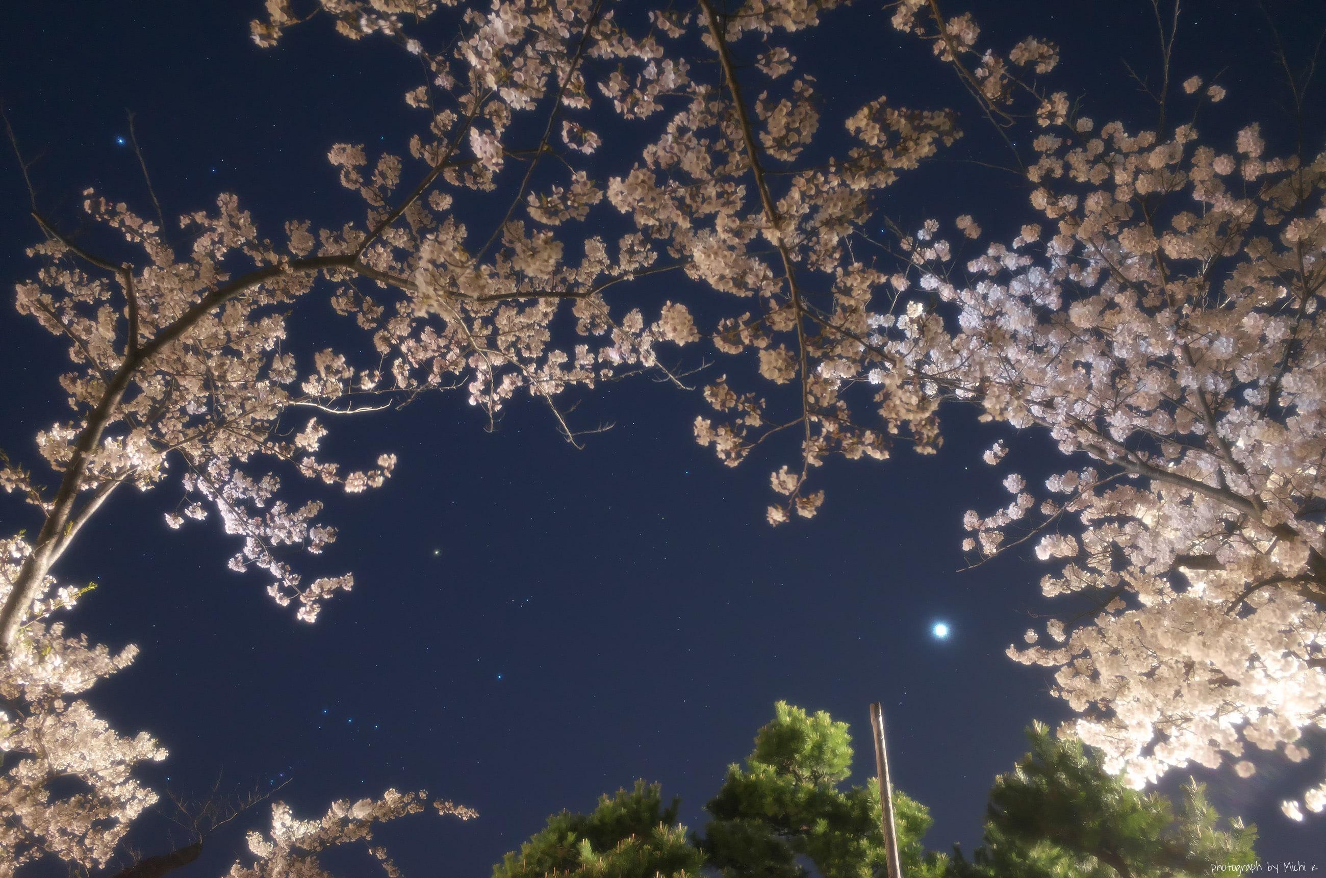 酒田市、夜桜の日和山公園2020-4-16(写真その2)