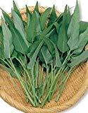 【エンツァイ種子】中国野菜 エンツァイ(あさがおな、空心菜) 小袋(13ml) (サカタのタネ)
