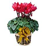 フリンジレッド さかもと園芸 達人のシクラメン 花鉢植え ギフト プレゼント 贈答品 クリスマス お歳暮