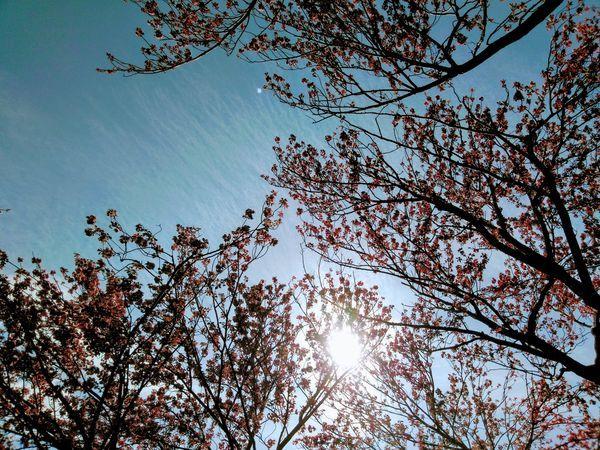 逆光の桜と太陽の光