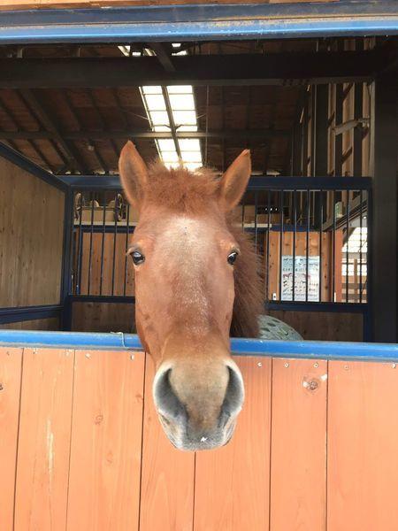厩から顔を出す馬