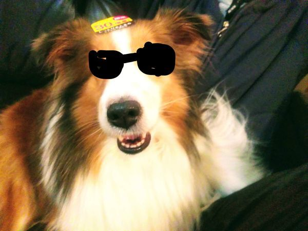 サングラスをかけた風の犬