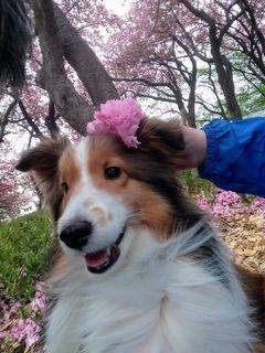 八重桜と犬