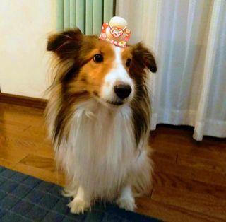 小さな鏡餅を頭にのせているシェルティ
