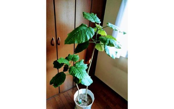 フィカスウンべラータの鉢植え