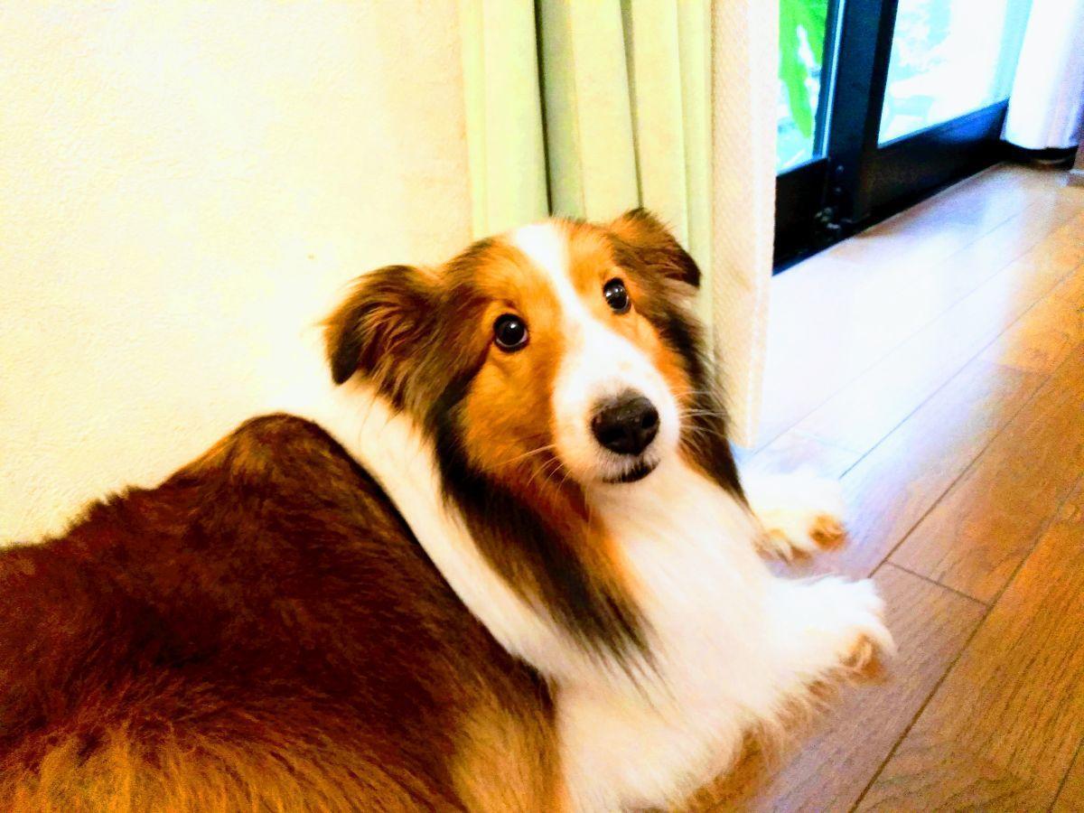 リビングの床で伏せをする犬
