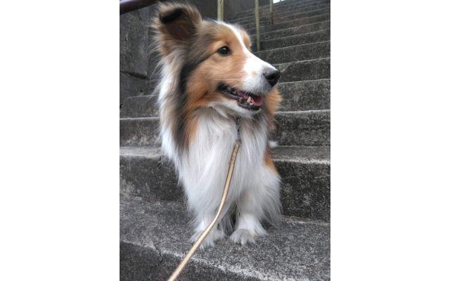 階段のシェルティ犬