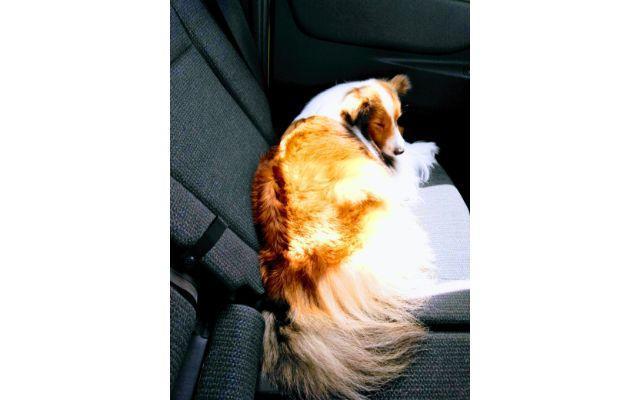 車の後部座席の半分を占める犬