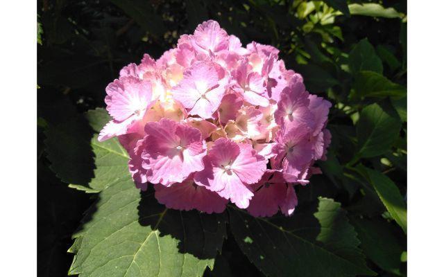 ピンクのアジサイ画像イメージ