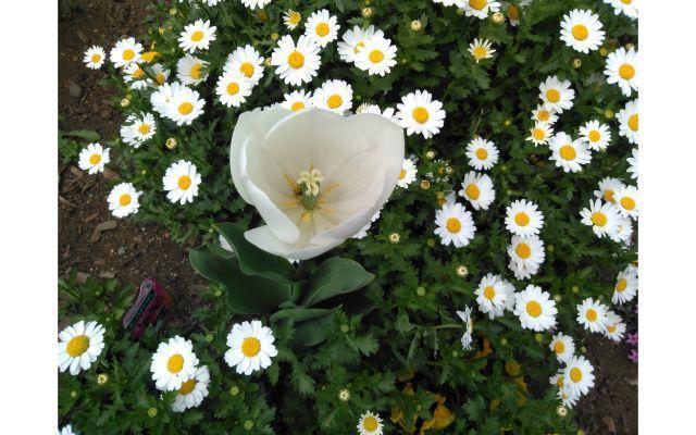白い花の中に白いチューリップ