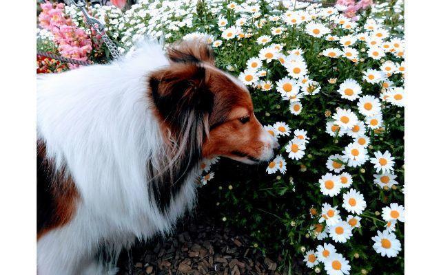 白い花のにおいをかぐ愛犬