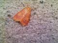 何だか、エスニックな蛾。※虫