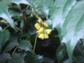 ヒイラギ。あんまり花を意識したことなかった。