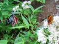 アサギマダラとクジャク蝶