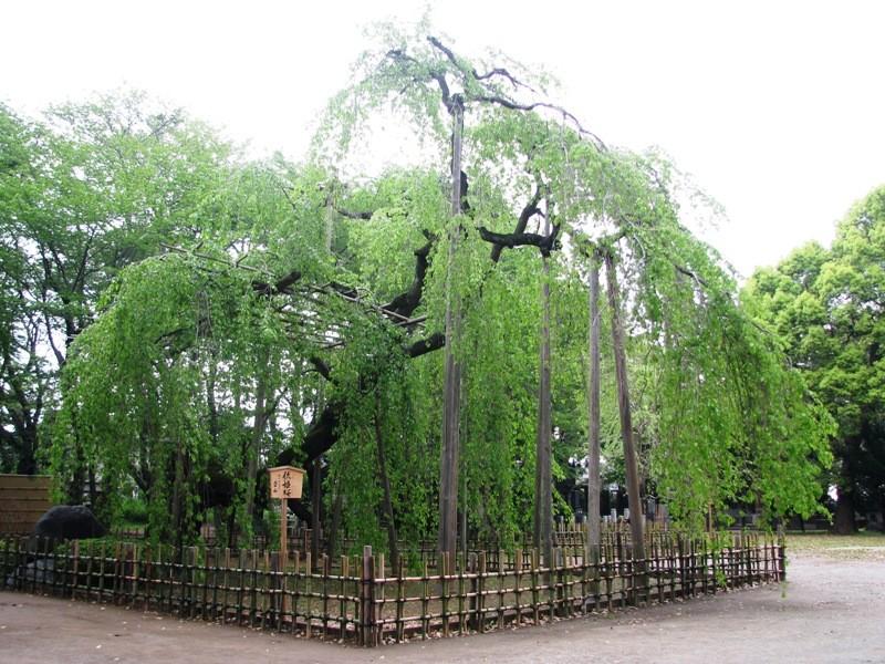 弘法寺の伏姫桜