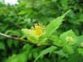 ヤマブキの花がら