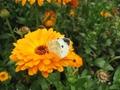 キンセンカと蝶
