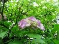 紫陽花と梅の実