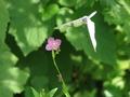 赤花夕化粧と紋白蝶