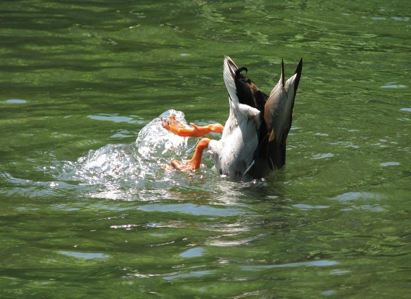 餌をとる鴨 (北大構内で)