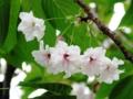 桜 うこん