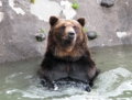 ヒグマの水浴