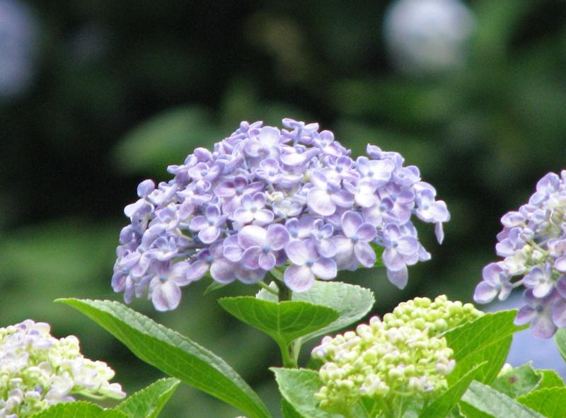 うず紫陽花(オタフクアジサイ)
