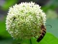 イケマの花にオオヨツスジハナカミキリ