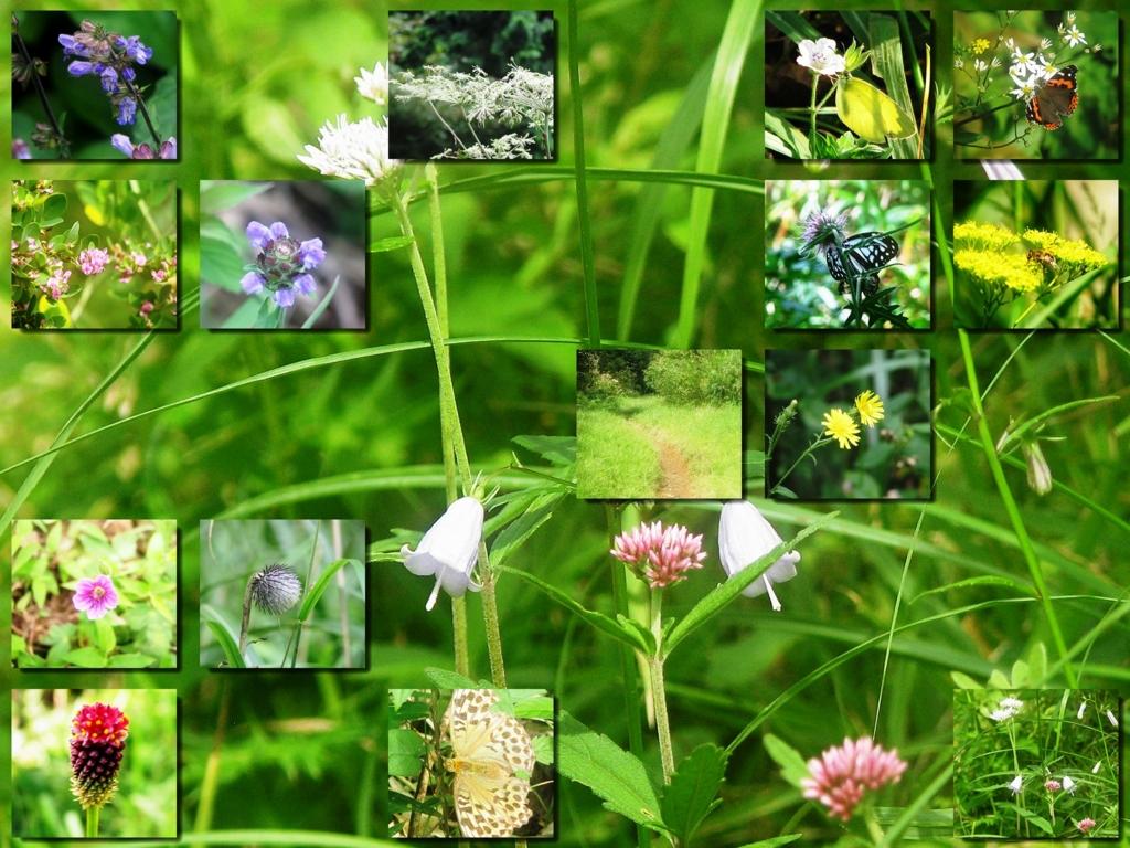 箱根の野草