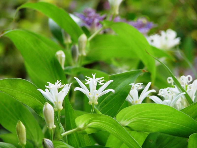 白花ほととぎす