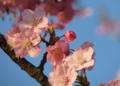 河津桜 (三浦海岸)