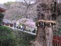 鶴岡八幡宮大銀杏と河津桜