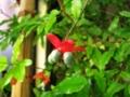 オクナ(ミッキーマウスの木
