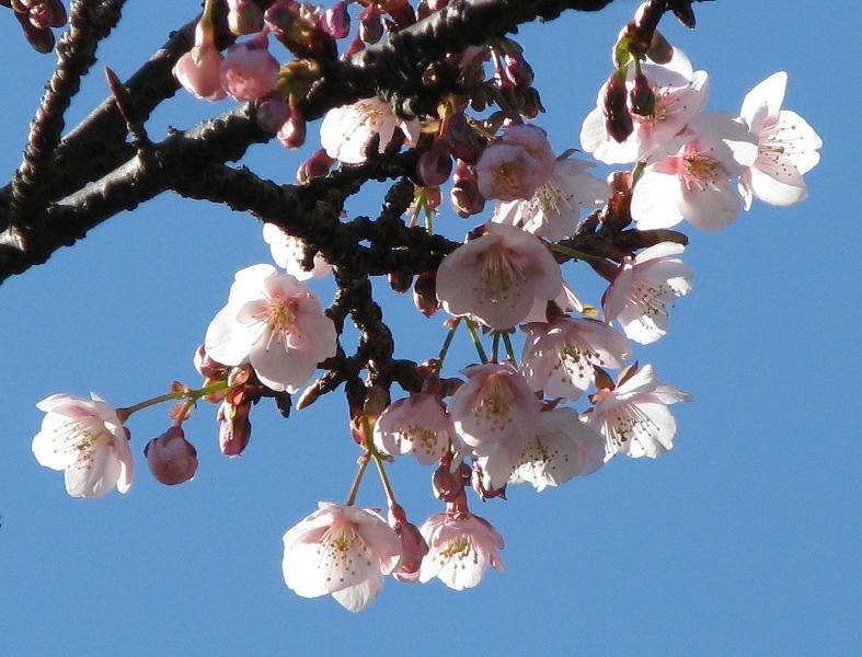 寒桜(小田原城)