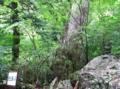 恵比須(恵比寿)の木