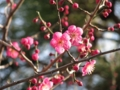 久里浜天神社の梅