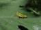 ヤマトフキバッタの幼虫?