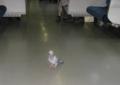 横須賀線に乗る鳩