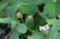 イワダレソウ(岩垂草) クマツヅラ科 イワダレソウ属