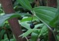 宝鐸草の実