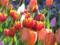 アイスチューリップ くりはま花の国
