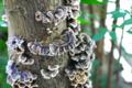 カワラタケ(枯れたモミジの木に)