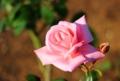 ヴェルニー公園のバラ