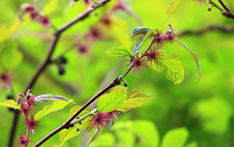 楮(コウゾ)の花
